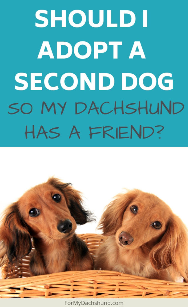 Should I get my Dachshund a friend so they are not lonely?