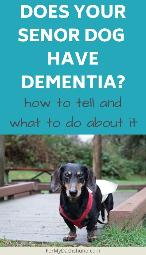 Is y our senior Dachshund showing signs of canine cognitive dysfunction (CCD)?