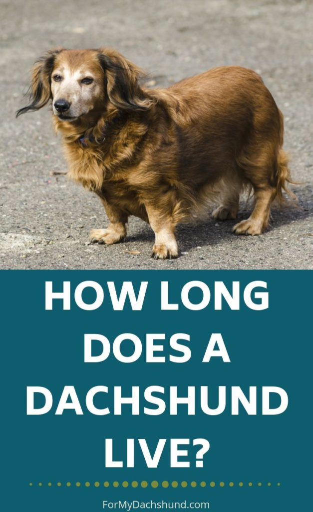 Do you know how long a dachshund lives for? This guide helps answer that question.