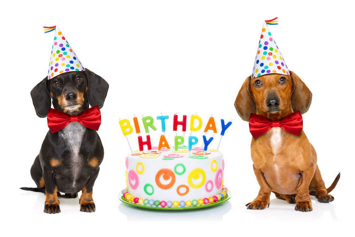 two dachshund with cake