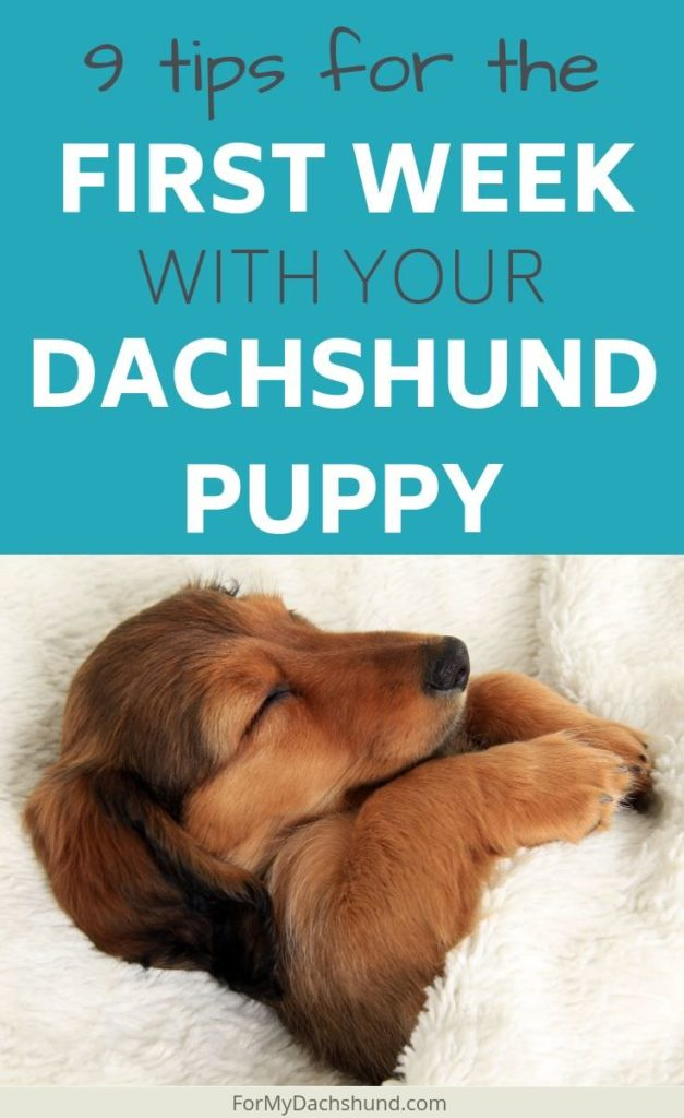 There can be a lot to learn when raising a dachshund puppy. Here are 9 tips on how to survive the first week.