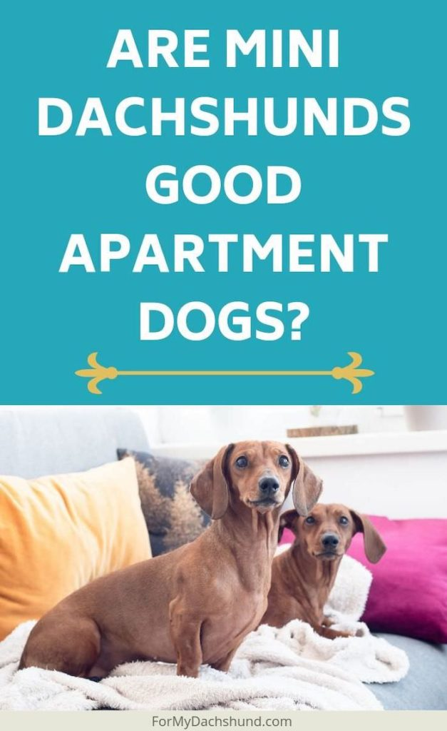 Can mini dachshunds be good apartment dogs? This article explains the pros and cons.