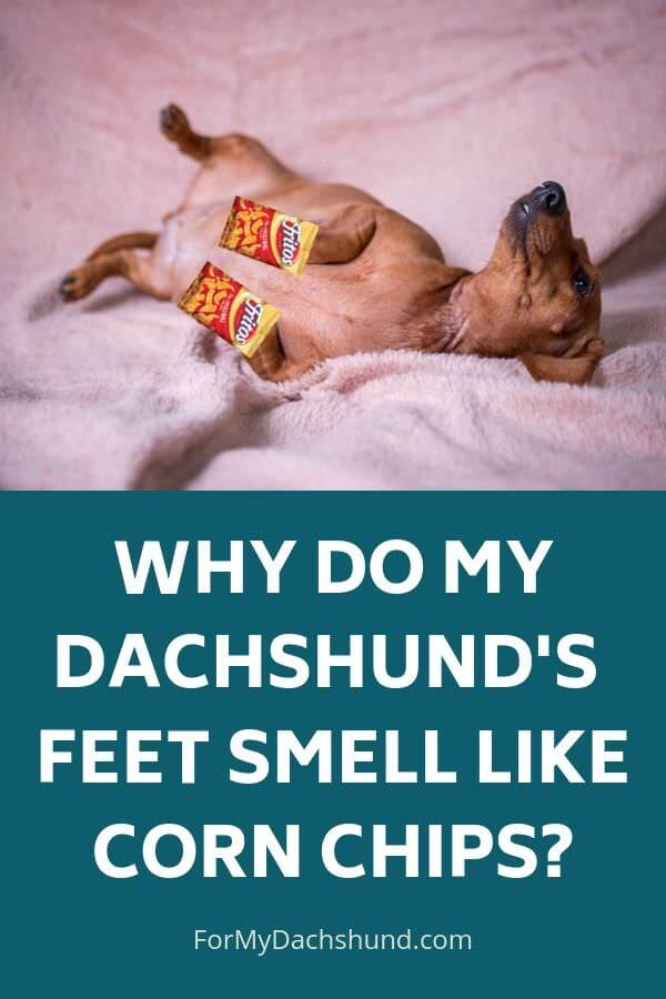Do your Dachshund's feet smell like corn chips? Find out why they smell like Fritos.