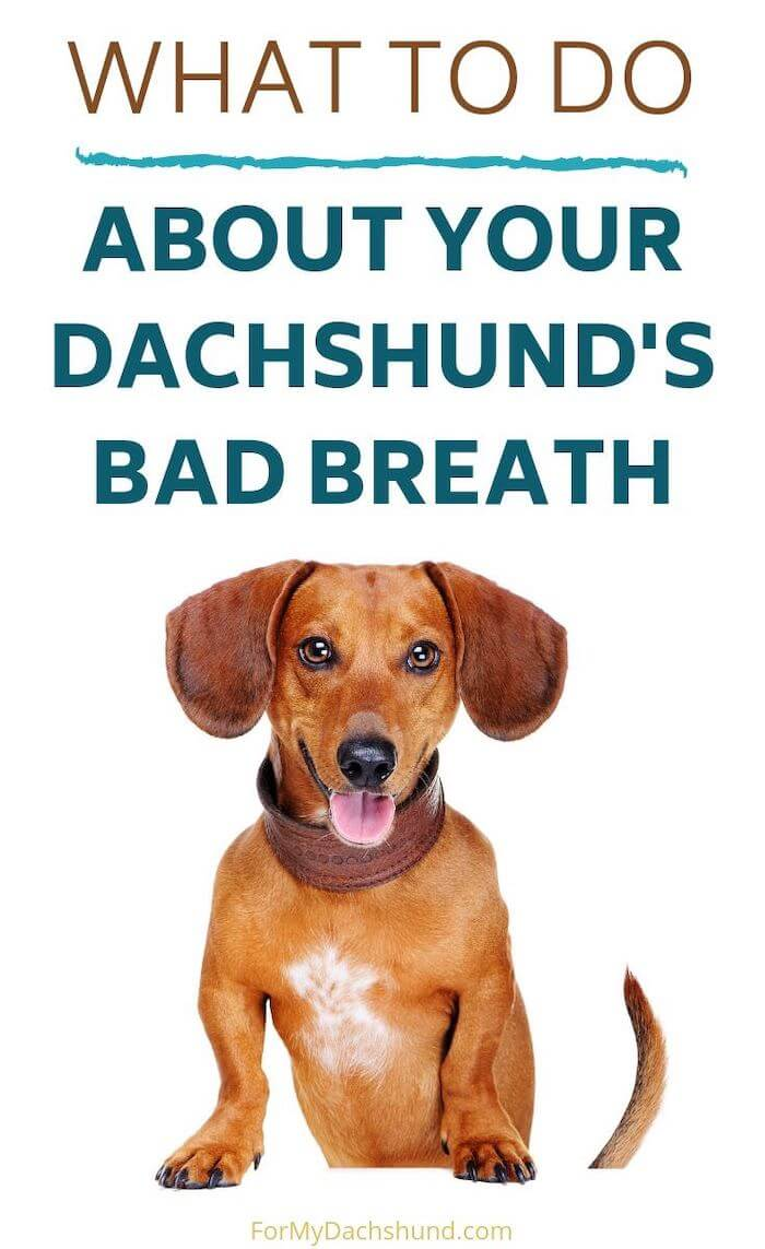 Does your dachshund have breath? Read this article for tips on how to improve that!