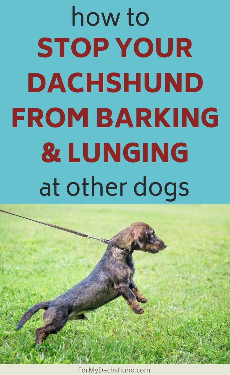 Does your Dachshund bark and lunge at other dogs? Here are some easy tips to stop it.