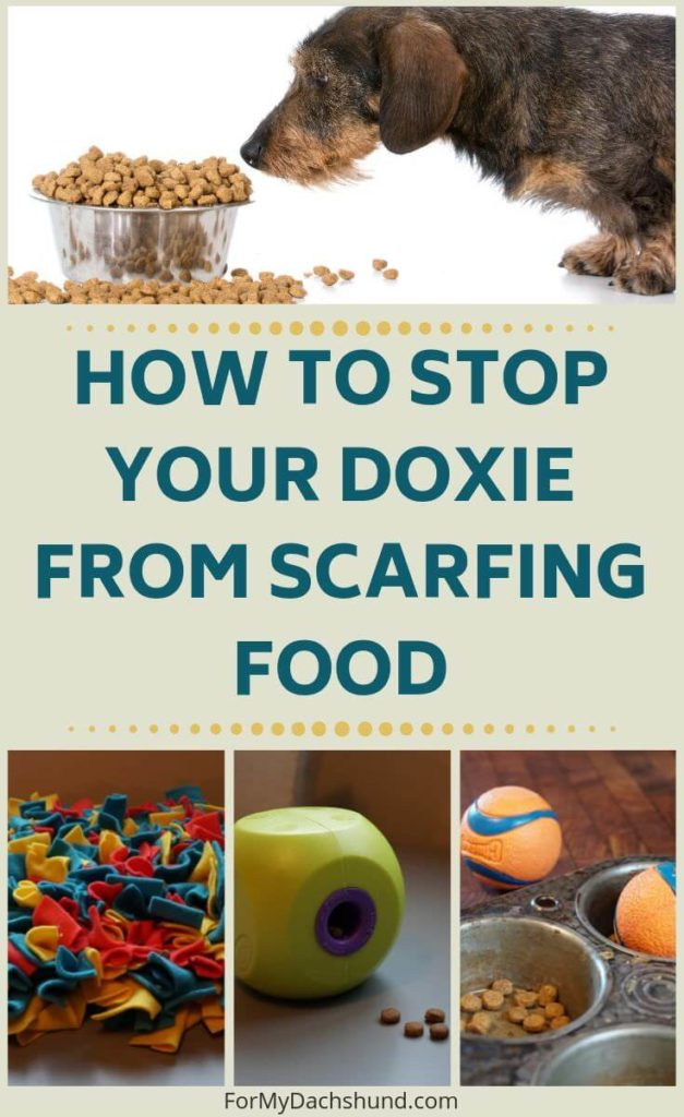 Does your Dachshund scarf down their food? Read this articles for tips to help with this.