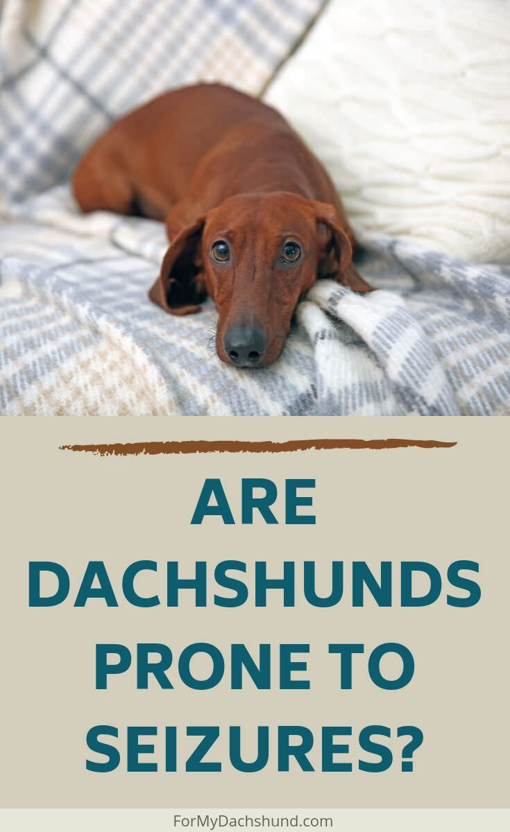 Has your Dachshund experienced seizures? Find out if Dachshunds tend to be more prone to these.