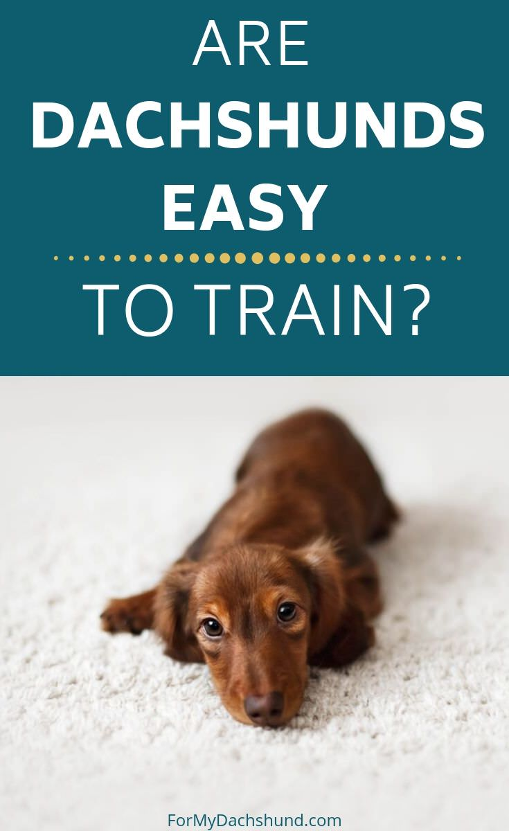 Dachshunds have a reputation for being stubborn. Find out what the challenges are and learn tips to help.