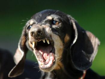 are dachshunds aggressive