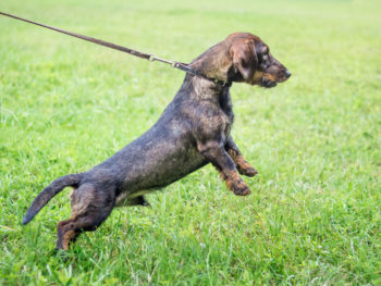 Dachshund on leash