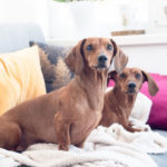 Two dachshunds in an apartment