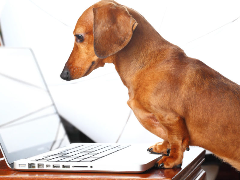 Dachshund using laptop