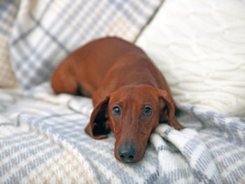 Cute dachshund puppy on plaid background