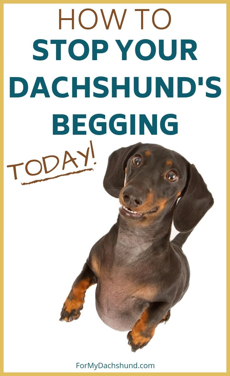 Do you have problems with your Dachshund begging? Here's how to get them to stop.