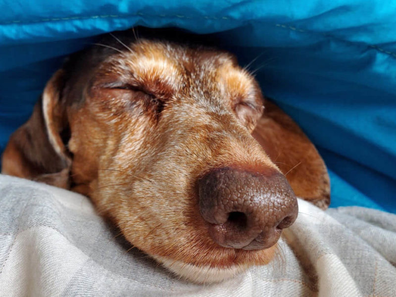 Dachshund in blanket