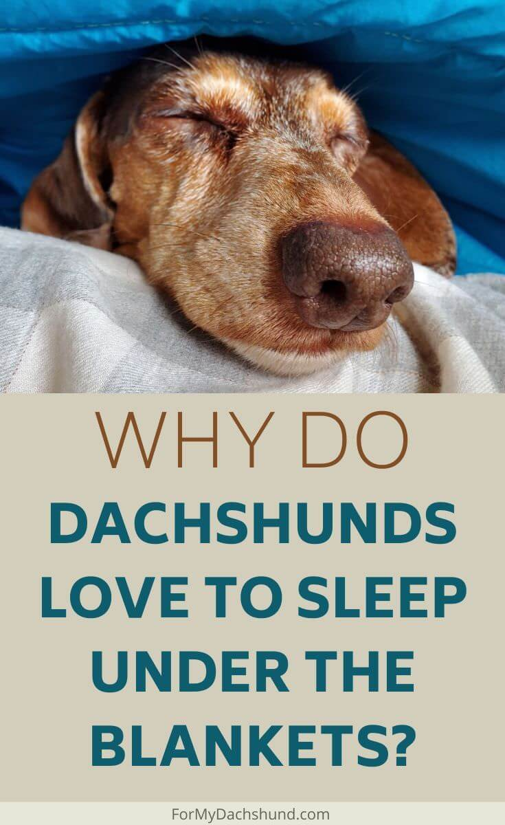Does your Dachshund love to burrow in its blanket? Here's why.