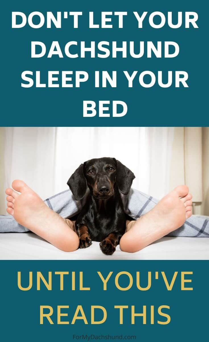 Do you let your Dachshund sleep in your bed? Read this first if so.
