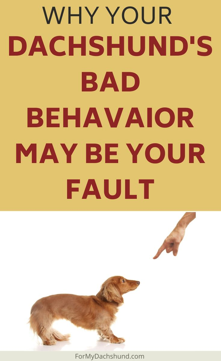 Is your Dachshund misbehaving? Their bad behavior may be your fault.