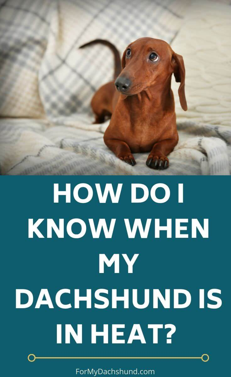 Do you know when your Dachshund is in heat? These tips will help you understand it better.