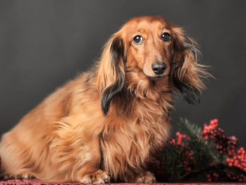 dachshund holly berries