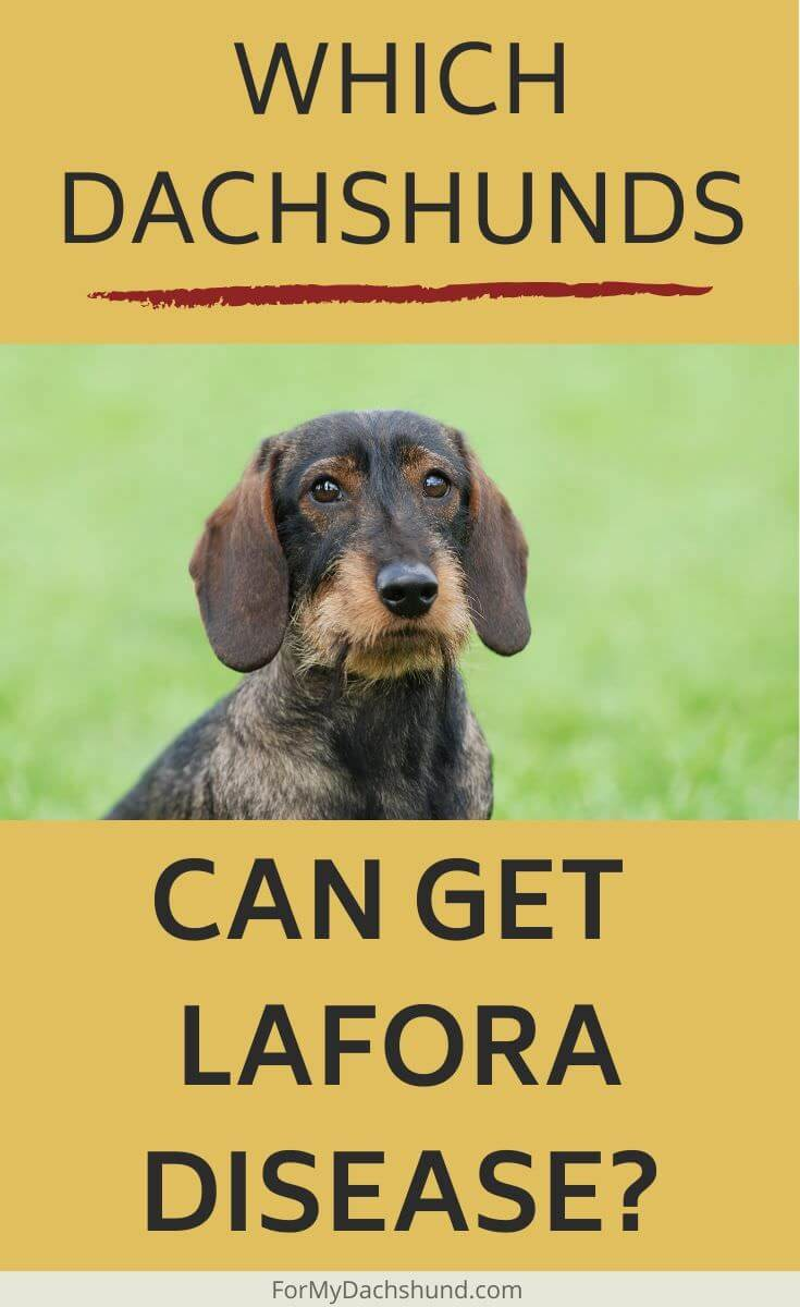 Which Dachshunds can get Lafora disease? Read this article to find out essential information.