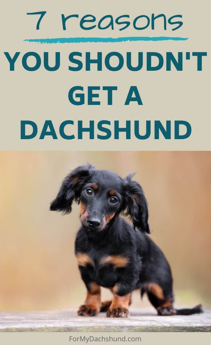 Thinking of getting a Dachshund? Here are a few reasons not to buy one.
