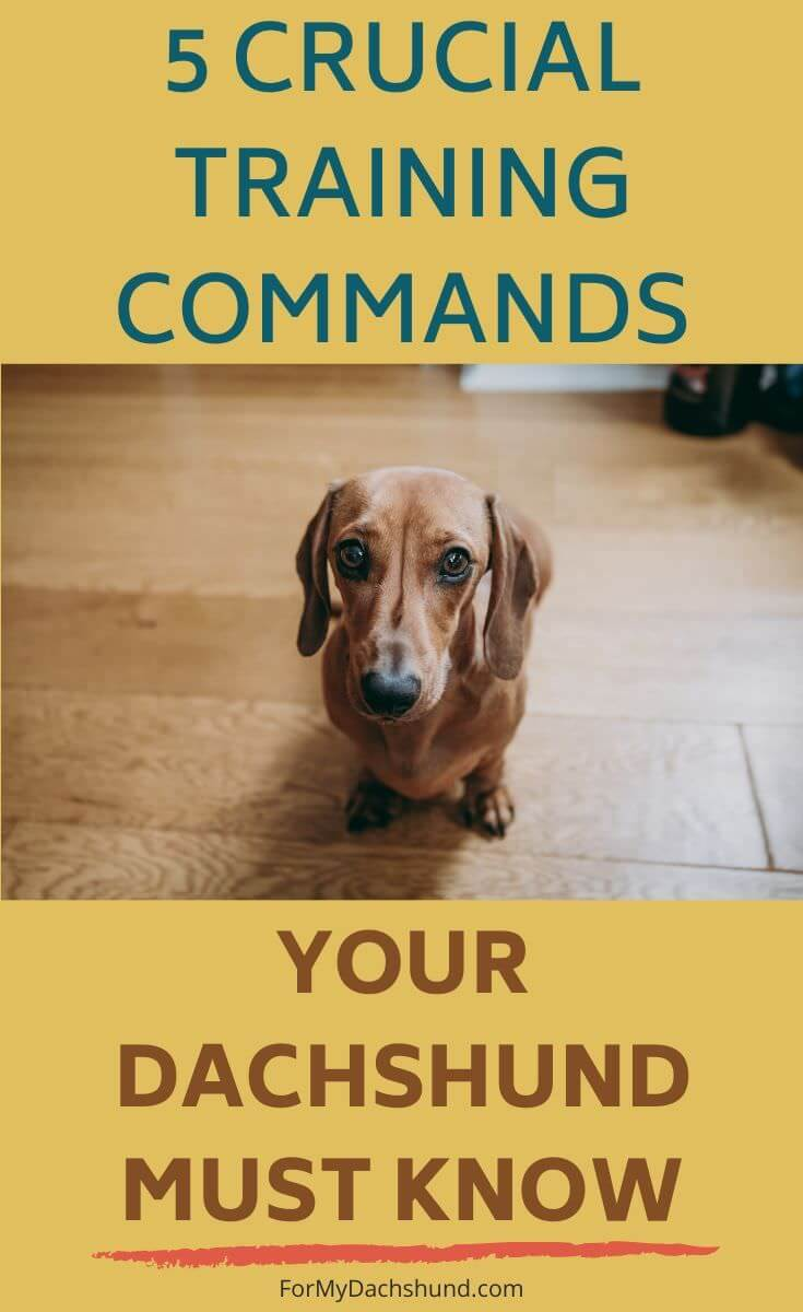 If you're trying to train your dog, you'll want to read this article. These are 5 crucial training commands your Dachshund should know.