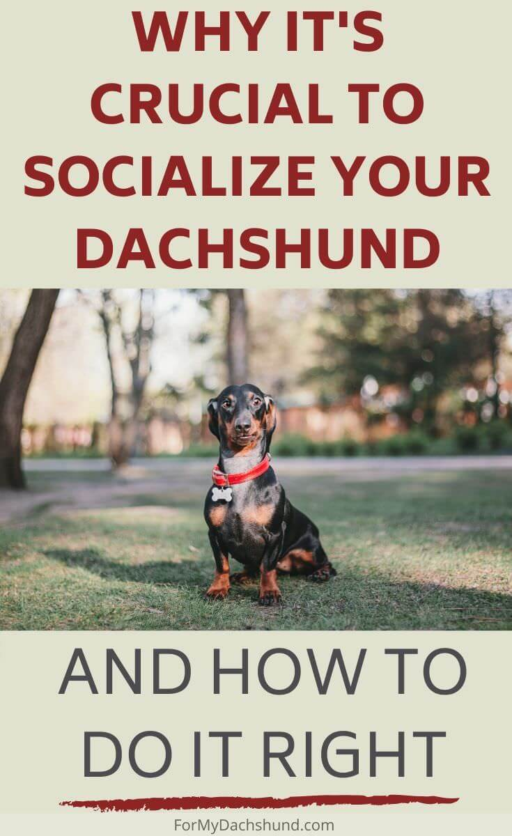 Do you socialize your Dachshund? It's not only recommended, but it's crucial to socialize your dog.