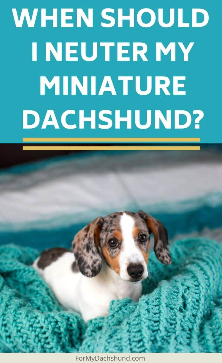 Do you know when you should neuter your miniature Dachshund? This guide will give you helpful information to use when neutering your dog.