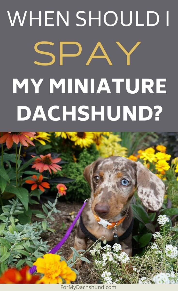 Are you deciding whether to spay your miniature Dachshund or not? Here are the pros and cons of spaying your dog.