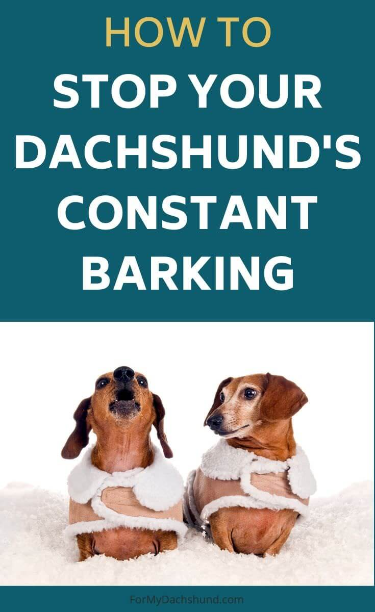 Is your dog barking all the time? Here are helpful tips on how to stop your Dachshund's constant barking.
