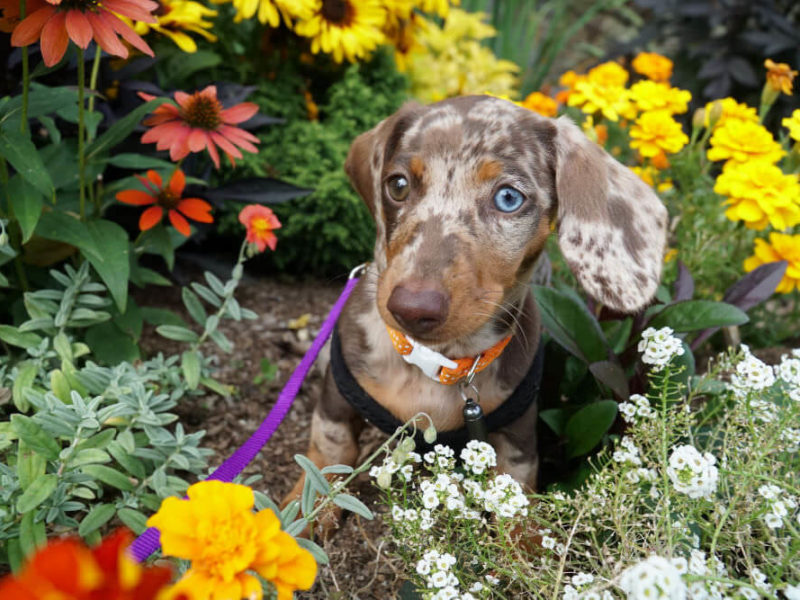 Dachshund in flowers