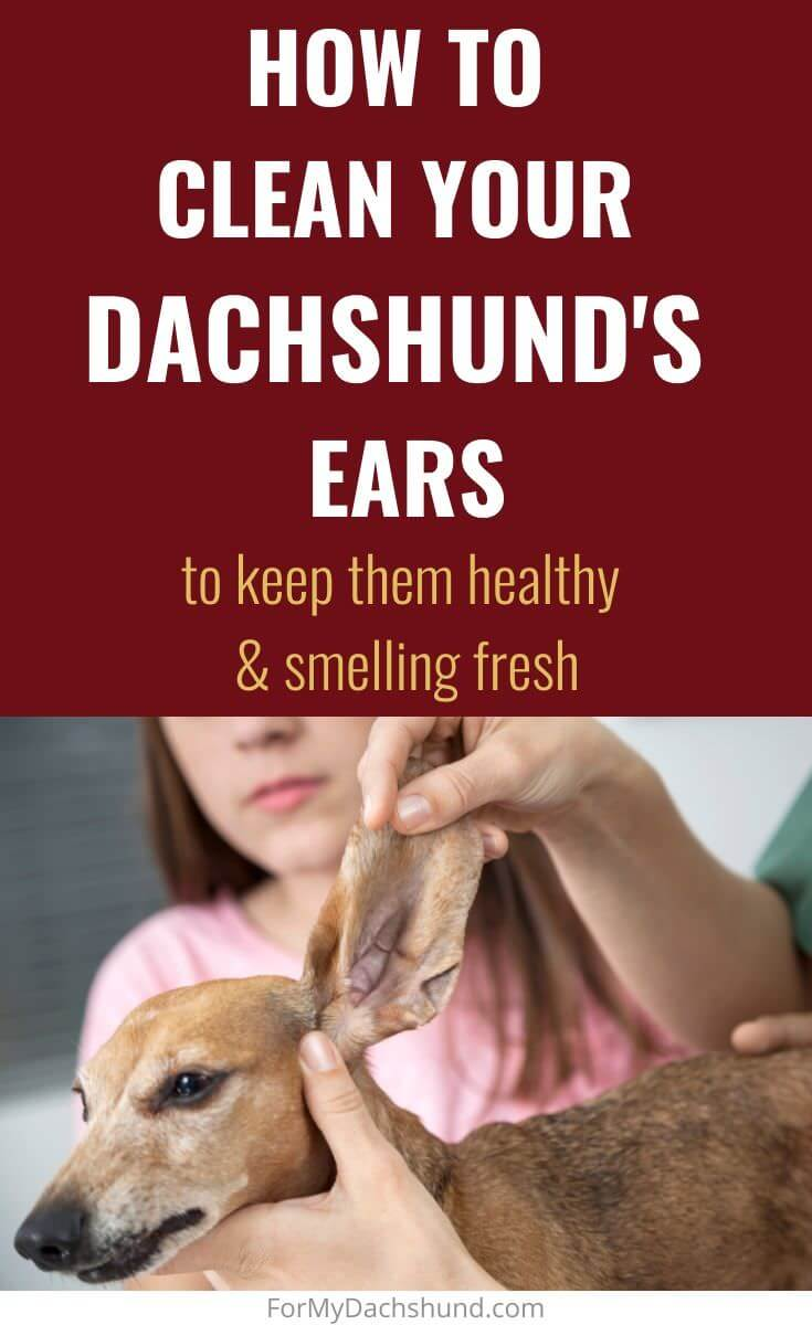 Do you know how to clean your Dachshund's ears? This guide will give you helpful tips to cleaning your dog's ears.