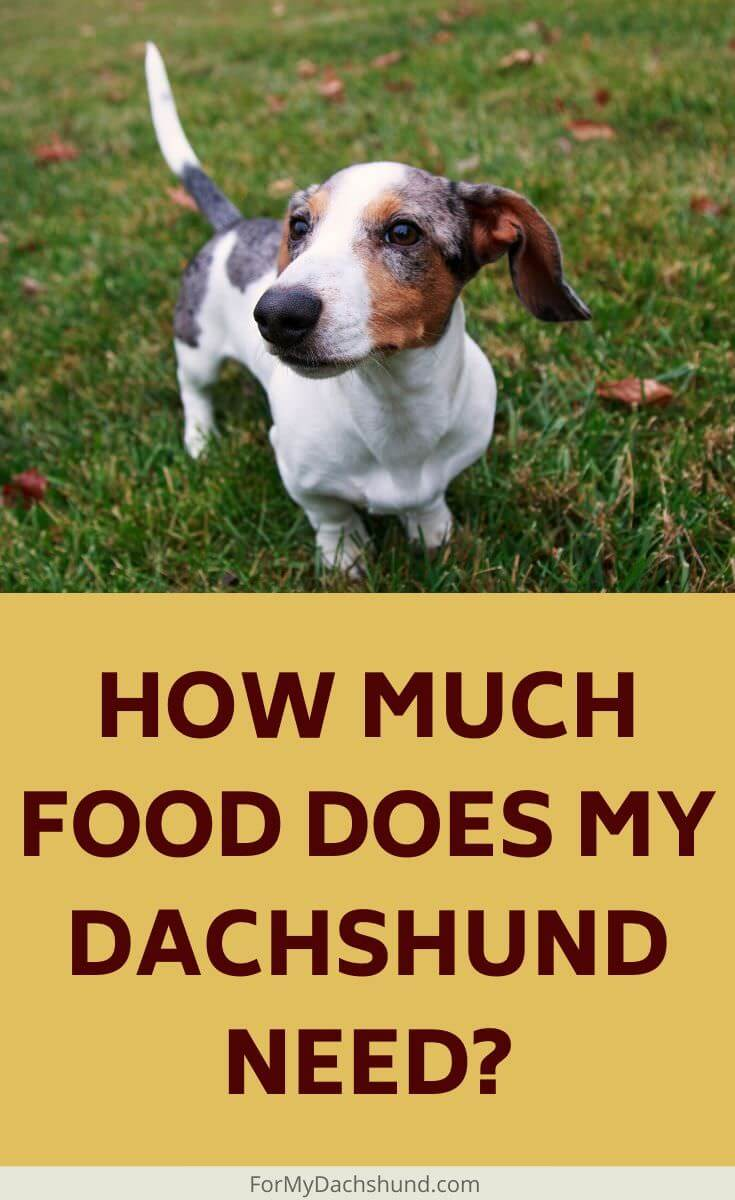 Are you feeding your dog the right amount of food? This guide will show you how much food your Dachshund needs.