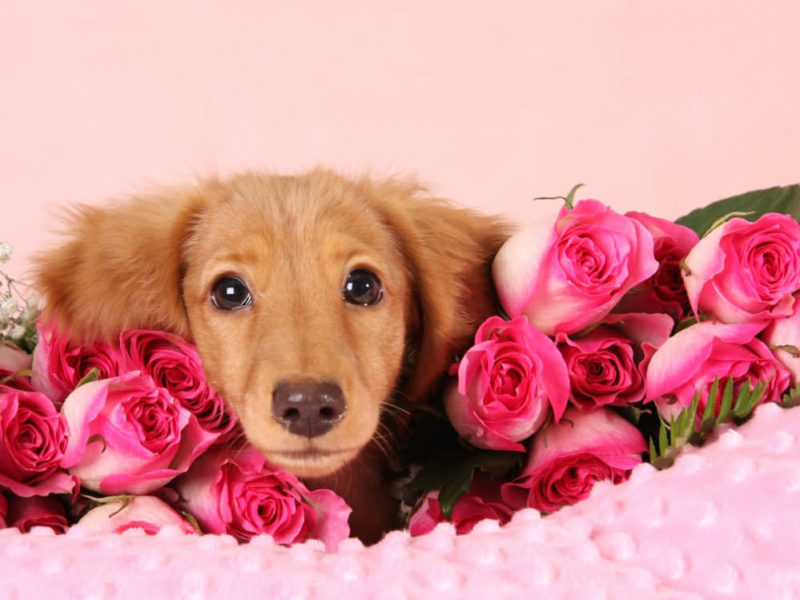 Cream Dachshund puppy surrounded by pink roses
