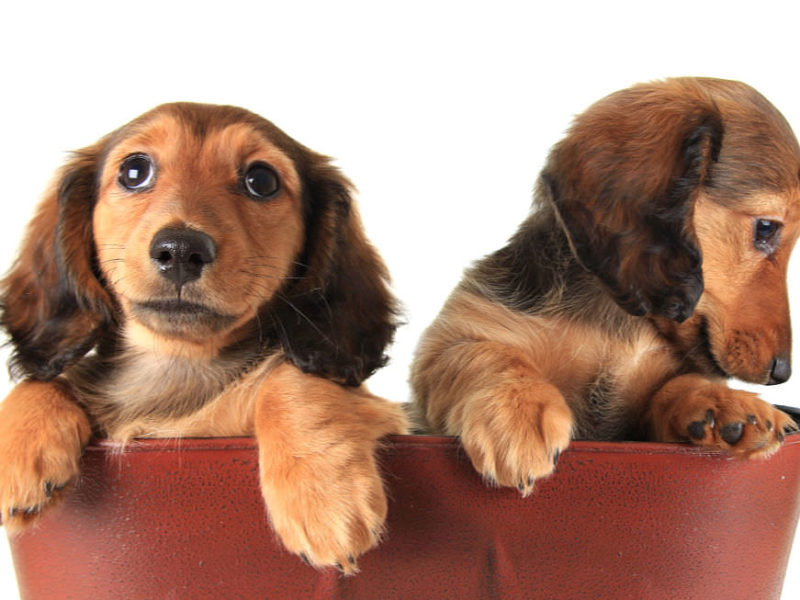 Two longhair Dachshund puppies in a red purse. The one on the left is looking at the camera, the one on the right is looking off to the side at the ground.