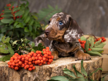 Dachshund berries