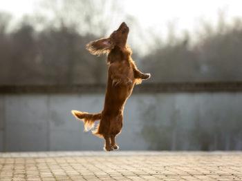 dachshund jumping