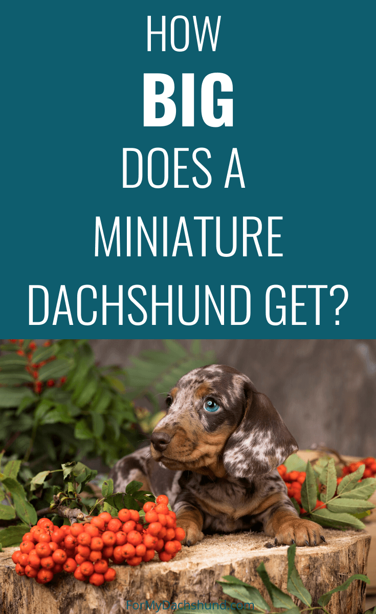 Are you curious how big a Miniature Dachshund gets? This guide explains everything you need to know about them.