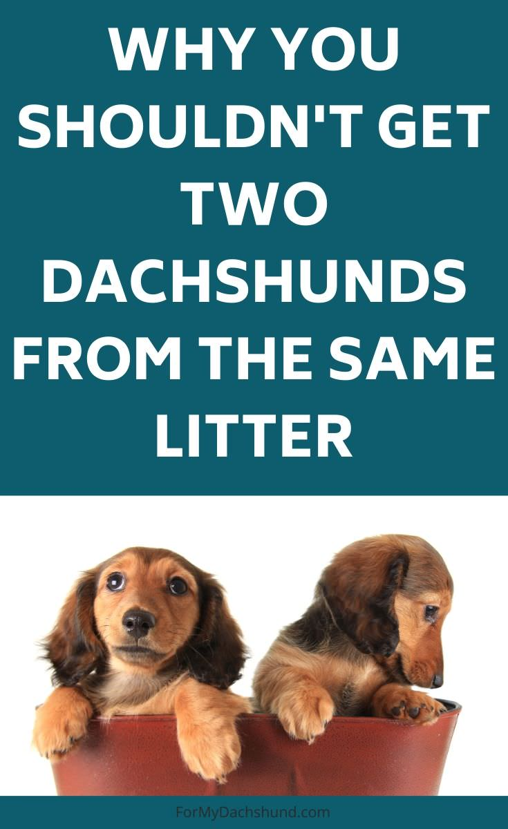 Why you shouldn't get two dachshunds from the same litter.