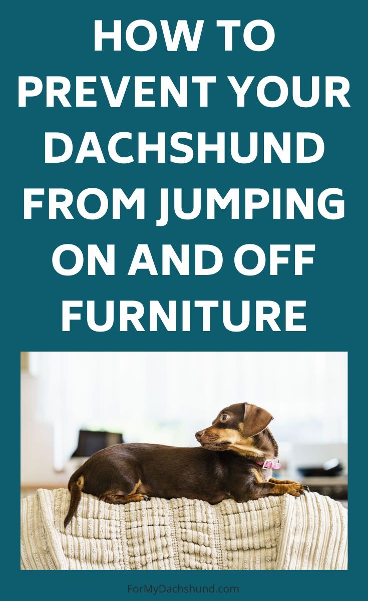 Does your dog jump on the couch? Here's how to stop your Dachshund from jumping on and off the furniture.