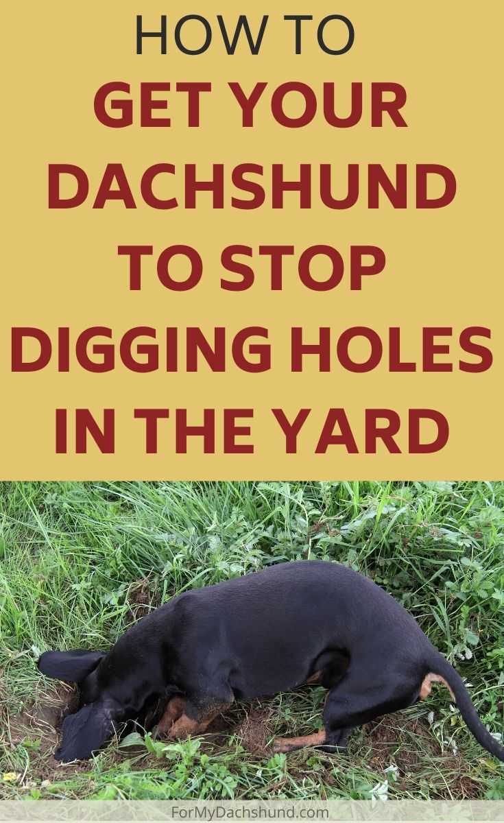 Does your dog like to dig? Here's how to get your Dachshund to stop digging holes in the yard.