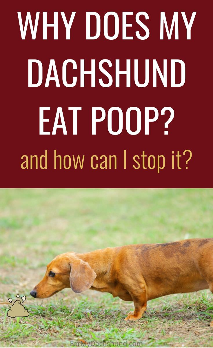 Are you wondering why your Daschund eats its own poop? This post explains why and how to stop it.