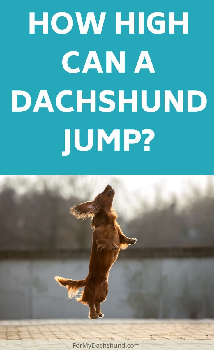Does your Dachshund jump often? Here are some tips to stop your Dachshund from jumping.