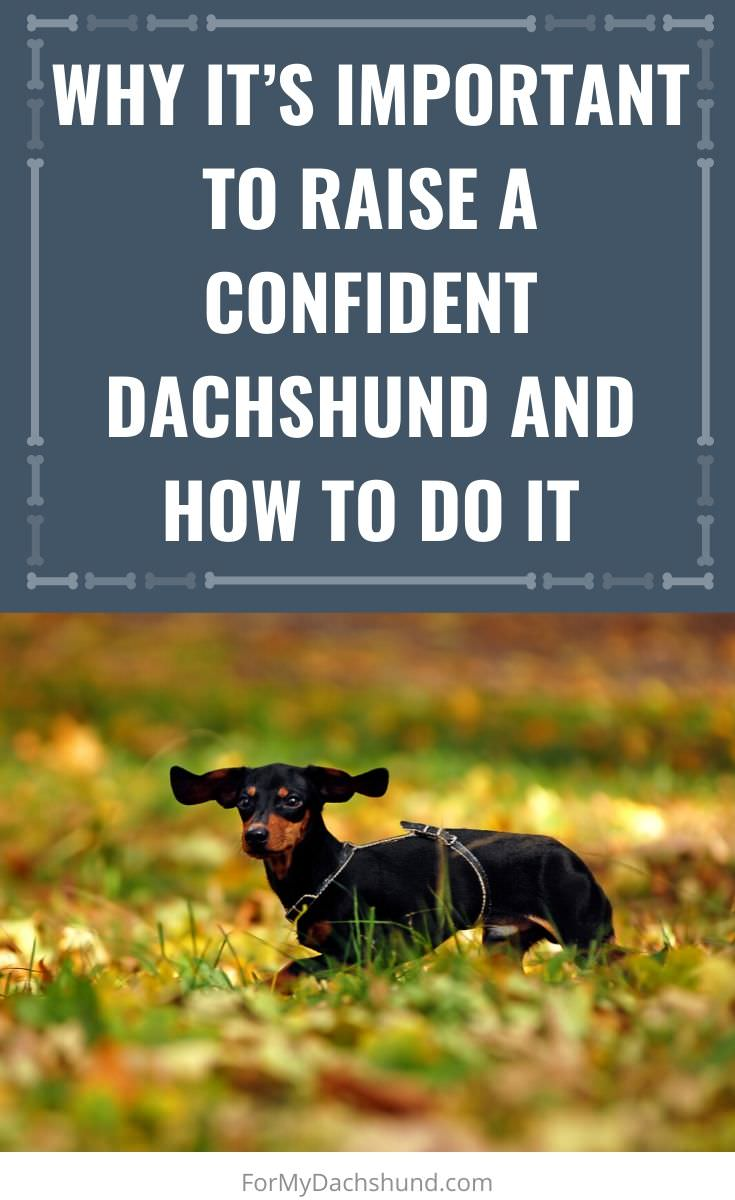 When you have a Dachshund, it's important to raise them confidently. Here are some tips on how to do it.