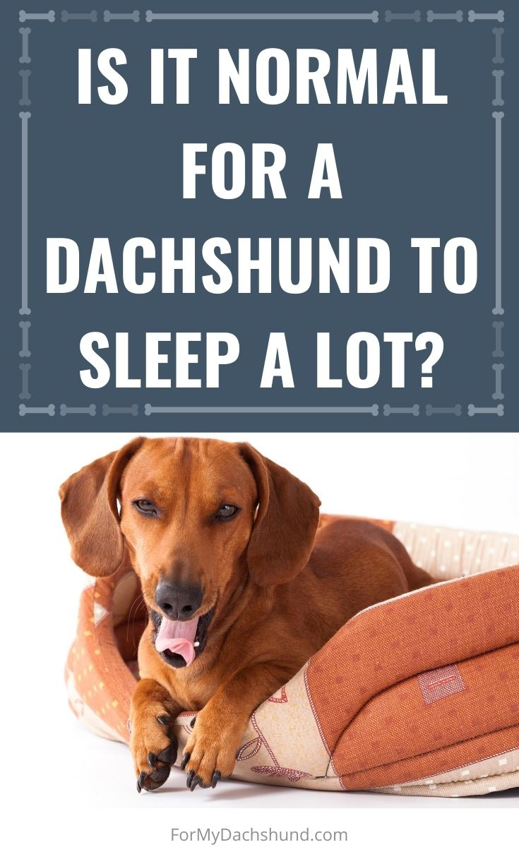 Does your Dachshund sleep a lot? Find out if it's normal or not!
