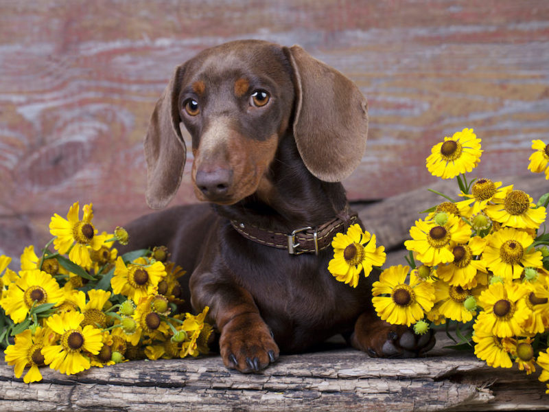 purebred miniature dachshund and flowers chamomile