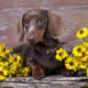 purebred miniature dachshund and flowers chamomile