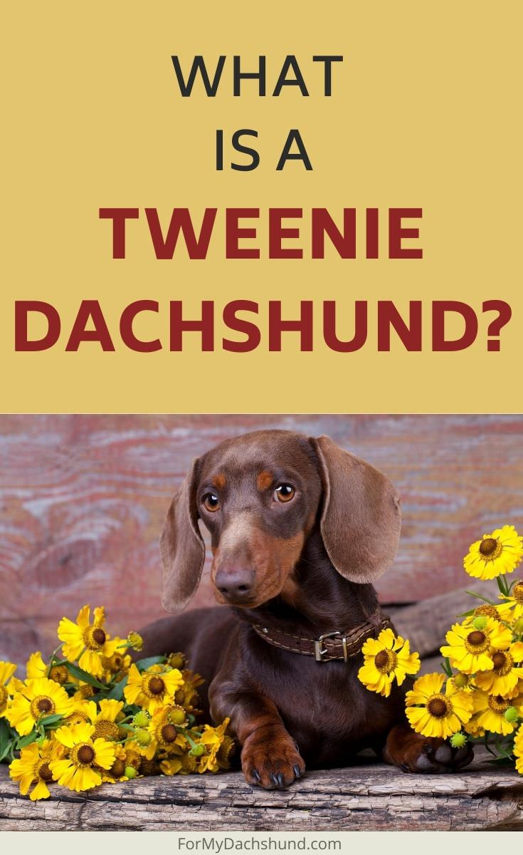 What is a Tweenie Dachshund? Find out everything you've wanted to know about them here.