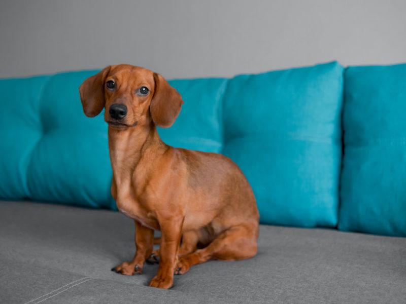 dachshund on couch